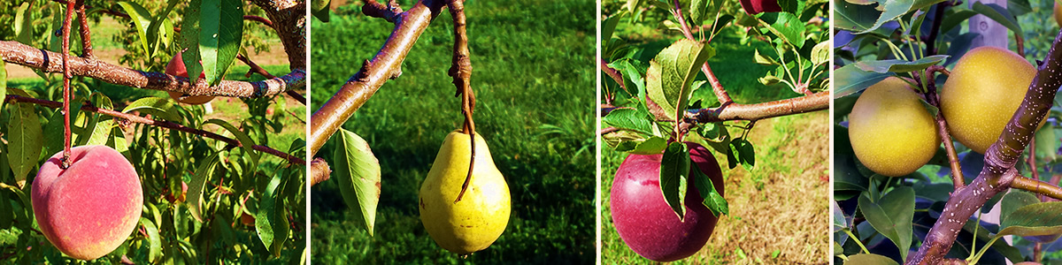 Arkona Orchards